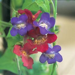 Asarina antirrhinifolia