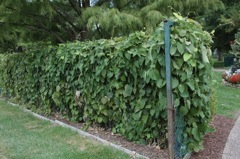 Dutchman s pipe aristolochia fence